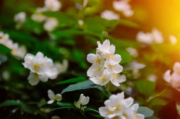 Pommier en fleurs dans le jardin au printemps