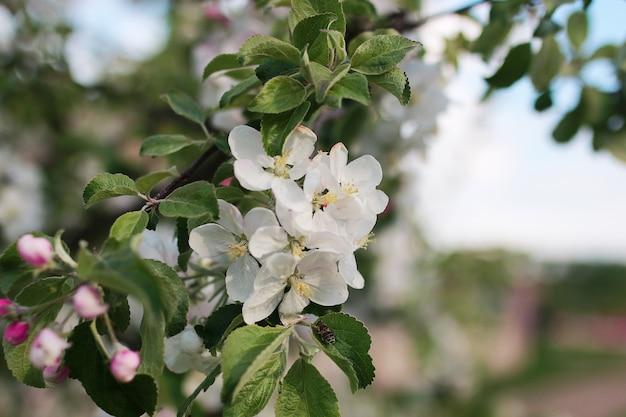 Pommier en fleurs avec des fleurs d'un blanc éclatant au début du printemps
