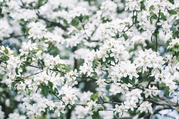Pommier en fleurs fond de printemps arbre en fleurs au printemps dans le contexte d'un ciel de printemps ensoleillé photo de haute qualité