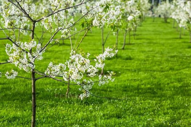 Pommier en fleurs fond de printemps arbre en fleurs au printemps dans le contexte