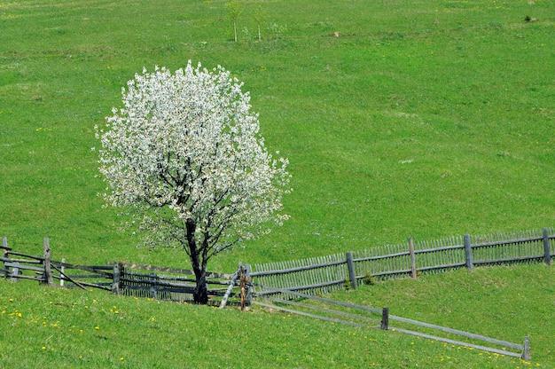 Pommier en fleurs sur un pâturage de montagne au printemps