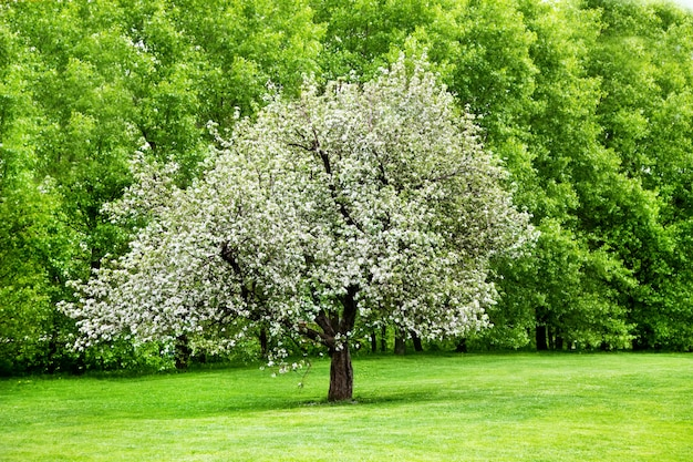 Pommier en fleurs solitaire
