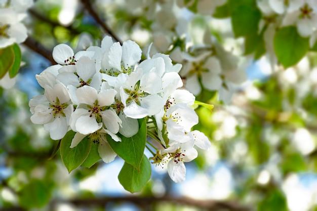 Pommier de printemps fleurit contre le ciel bleu