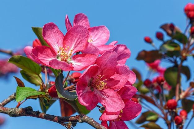 Pommier rose en fleurs contre le ciel bleu
