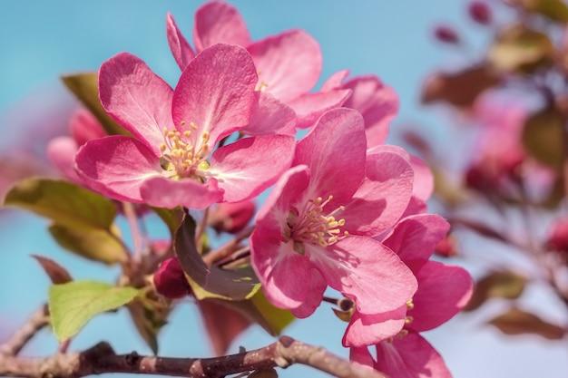 Pommier rose en fleurs