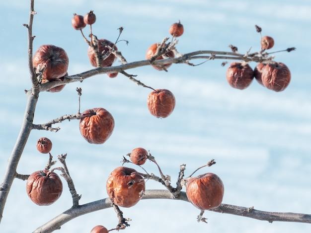 Pommier sans feuilles et avec des fruits en hiver