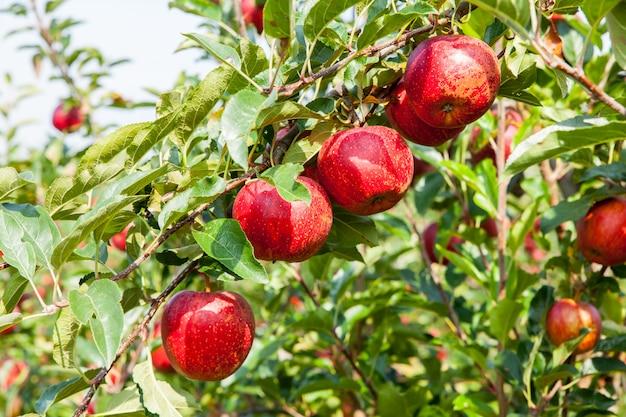 Pommiers chargés de pommes dans un verger en été