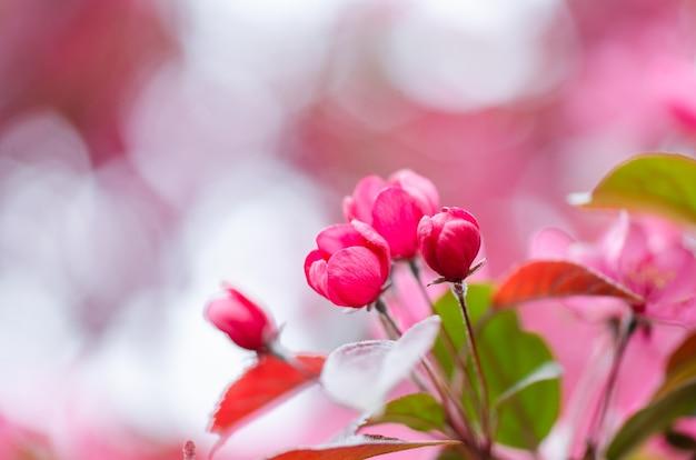 Pommiers décoratifs roses. image pour la conception de cartes postales, calendrier, couverture de livre. fermer. pommier en fleurs.
