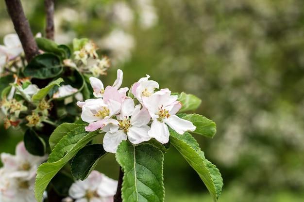 Pommiers en fleurs au parc du printemps se bouchent