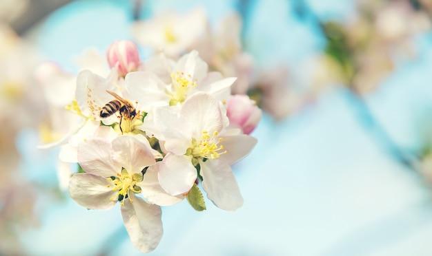 Pommiers en fleurs au printemps dans le jardin. mise au point sélective. fleurs.