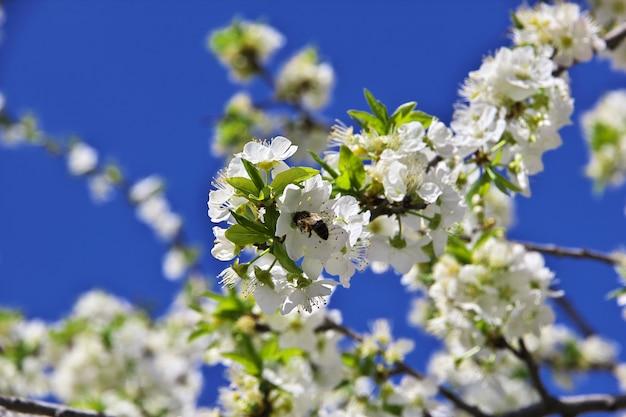 Pommiers en fleurs au printemps dans les montagnes