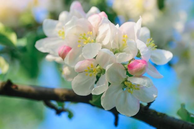 Pommiers en fleurs dans un jardin de printemps