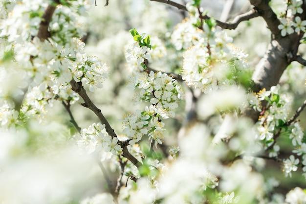 Pommiers en fleurs dans le jardin