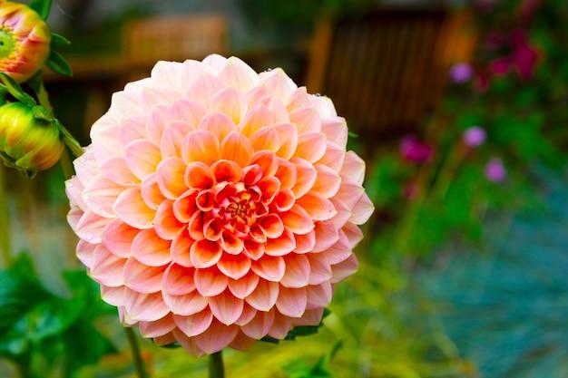 Pompom dahlia fleur de pêcher en fleurs, jardin d'été avec des arrière-plans de fleurs en fleurs