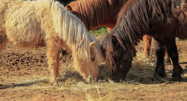 Poney poney