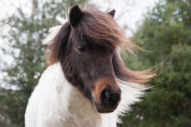 Poney shetland en liberté dans la nouvelle forêt