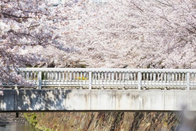 Pont entouré de cerisiers en fleurs ou de sakura