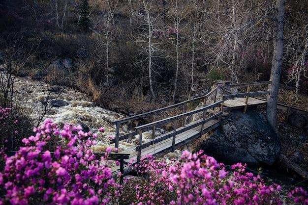 Pont piétonnier en bois au-dessus du ruisseau de montagne orageux. matin de printemps dans les montagnes. pierres grises, buissons de rhododendrons fleuris avec des fleurs roses au premier plan. l'eau de fonte dans la rivière.