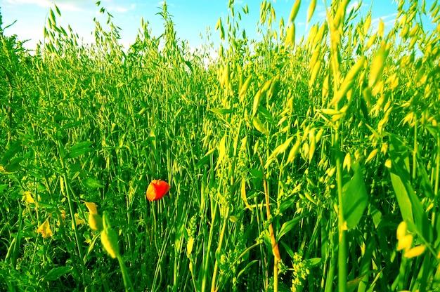 Poppy entouré de verdure
