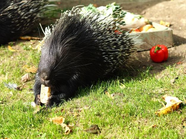 Porc-épic noir jouant sur un champ vert pendant la journée