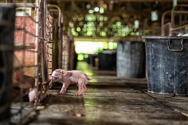 Porc nouveau-né dans les fermes porcines