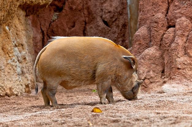 Porc de la rivière rouge, potamochoerus porcus pictus