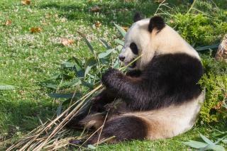 Porcelaine ours panda géant zoo