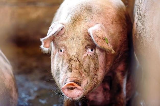 Porcs dans une ferme