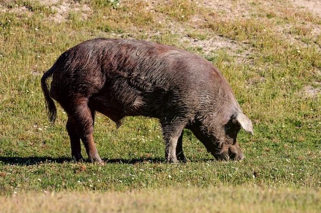 Porcs ibériques paissant à la campagne