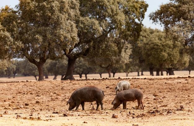 Porcs ibériques paissant parmi les chênes