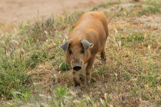 Porcs ibériques paissant