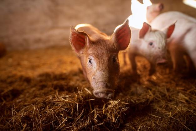 Porcs à porcherie.