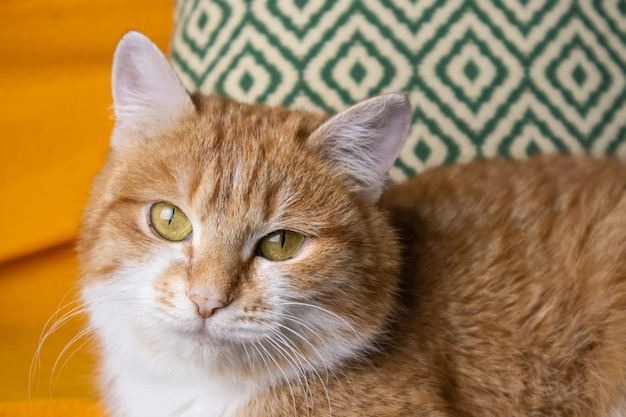 Un porteur d'un chat à poil long blanc aux yeux jaunes
