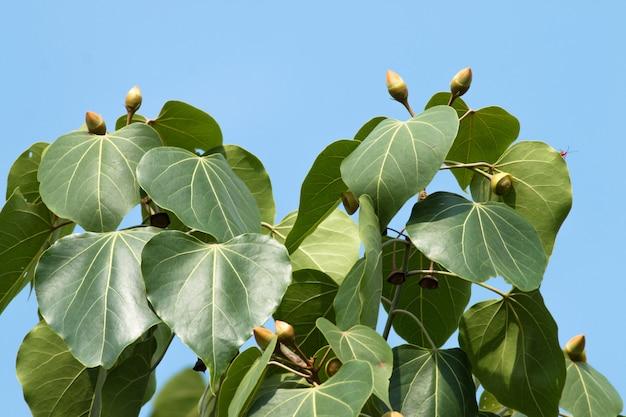 Portia tree avec fleur de bourgeon jaune