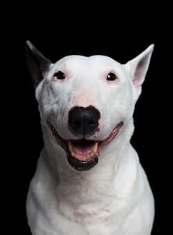 Portrair d'un bull terrier sur fond noir en studio