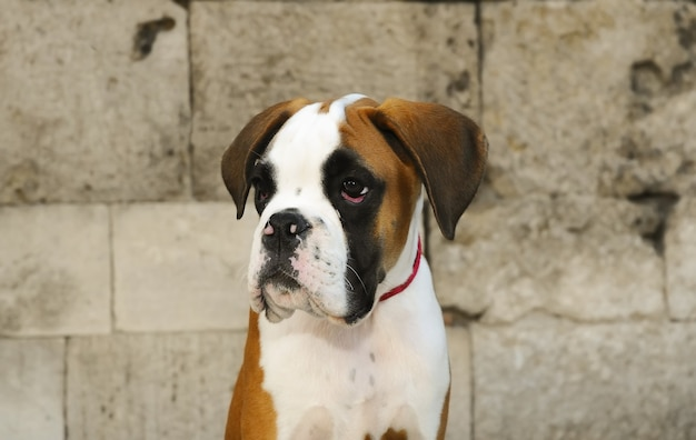 Portrait d'un adorable chien boxer chiot tricolore sur fond de mur de pierre