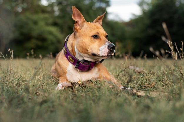 Portrait d'un adorable chien pitbull