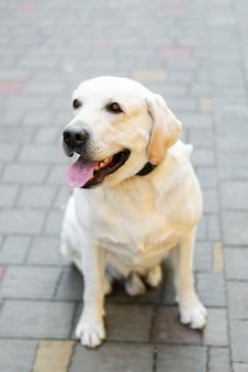 Portrait d'adorable labrador en plein air
