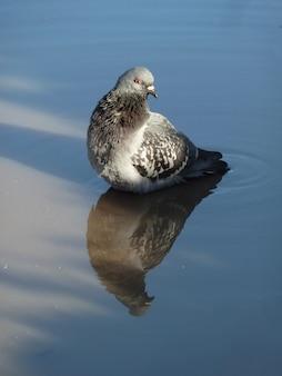Portrait d'un adorable pigeon et son reflet dans une flaque d'eau