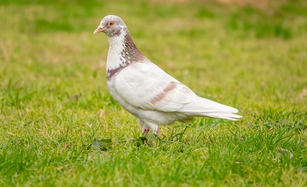 Portrait d'un adorable pigeon tacheté dans le champ vert