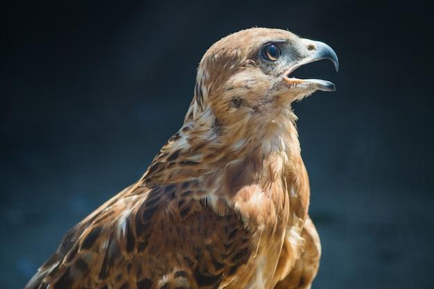 Portrait de l'aigle steppe au zoo