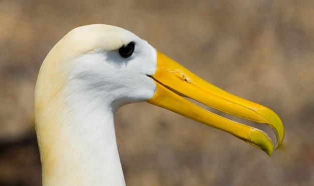 Portrait d'un albatros adulte