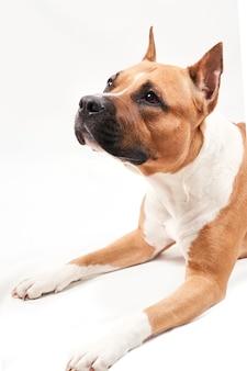 Portrait de american staffordshire terrier isolé sur fond blanc. gros plan de museau de chien en studio