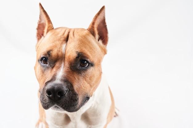 Portrait de l'american staffordshire terrier isolé sur fond blanc. museau de chien gros plan en studio