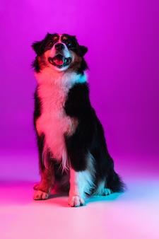 Portrait d'un animal de compagnie actif drôle, chien mignon berger australien posant isolé sur le mur du studio en néon.