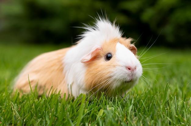 Portrait d'animal de compagnie de beau cochon d'inde