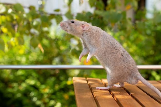 Portrait d'animal de compagnie beau rat