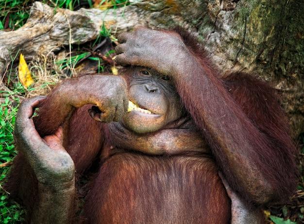 Portrait animalier orangutang dans le parc de malaisie