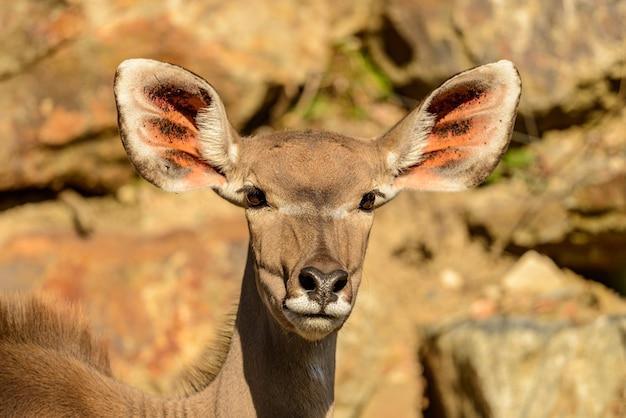 Portrait d'antilope koudou (tragelaphus strepsiceros) femelle soleil avant dans le zoo de pilsen