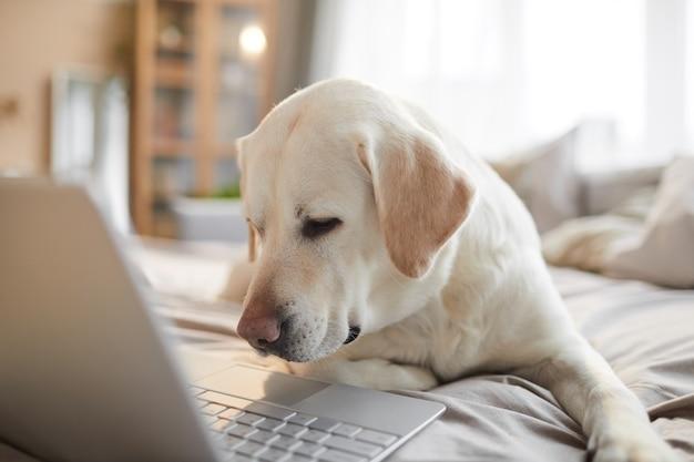 Portrait aux tons chauds d'un chien labrador blanc utilisant un ordinateur portable en position couchée sur le lit dans un intérieur confortable éclairé par la lumière du soleil, espace pour copie